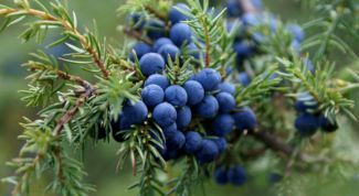 Чем полезен можжевельник и его ягоды