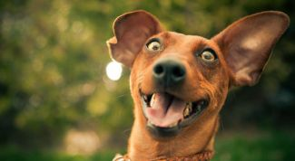 Гиперактивность у собак