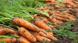 Урожай моркови: убираем правильно