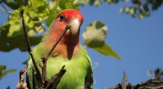 Сколько живут попугаи неразлучники?