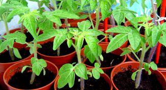 Чем полить рассаду томатов, чтобы лучше росла