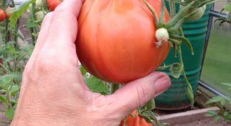Как вырастить помидор необычной формы: сорт «Пузата Хата»