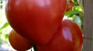 """Какие особенности агротехники у сорта томатов """"Лентяйка"""""""