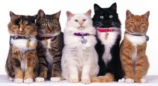 5 самых распространенных пород кошек