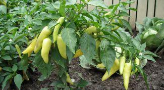 Как вырастить здоровую рассаду перцев