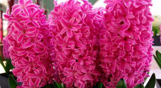 Как заставить гиацинт цвести зимой