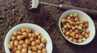 Как посадить лук-севок под зиму на приусадебном участке