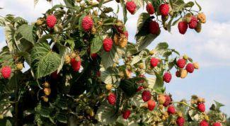 Как вырастить малиновое дерево