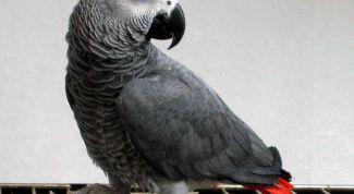 Как содержать попугая жако