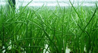 Как вырастить зеленый лук в пакете на подоконнике