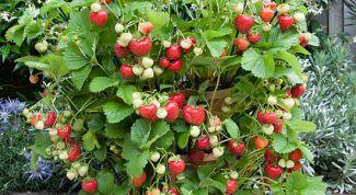 Как выращивать крупноплодную землянику в контейнерах