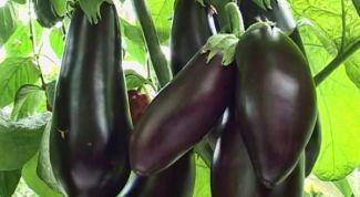 Как вырастить крепкую рассаду баклажана: 7 важных правил