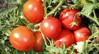 Как вырастить помидоры сорта «Монгольский карлик»