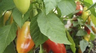 5 высокоурожайных разноцветных перцев
