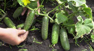 Эффективные советы по выращиванию огурцов