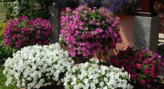 Как просто вырастить рассаду петунии из семян