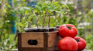 Как вырастить здоровую рассаду томатов