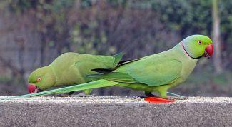 Как ухаживать за ожереловым попугаем