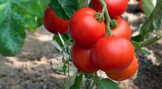 Какие сорта томатов для открытого грунта самые раннеспелые