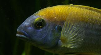 Лечение ихтиофтириоза в аквариуме