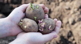 Чем и когда обработать клубни картофеля перед посадкой