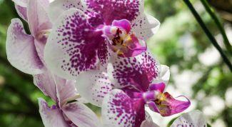 Как заставить орхидею роскошно цвести