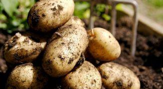 Как вырастить здоровые клубни картофеля