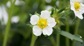 Чем подкормить клубнику весной до цветения