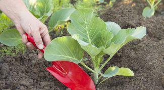Чем заправить лунки при высадке рассады капусты в грядки
