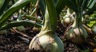 Чем подкормить лук и чеснок весной