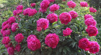 Что делать, если не цветут пионы