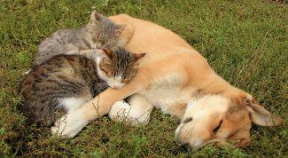 Какие болезни передаются кошкам и собакам от клещей