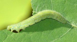 Как избавиться от гусениц на капусте без химии