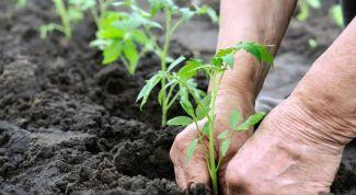 Нужно ли заглублять рассаду помидоров при высадке в грядки