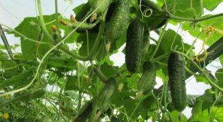 Как вырастить огурцы в теплице: пособие для новичков