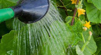 Как поливать огурцы в теплице и парниках