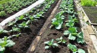 Как ухаживать за капустой в июне