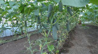 Чем подкормить огурцы для повышения урожайности