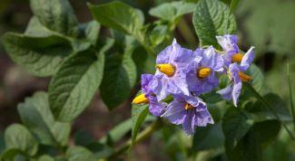 Нужно ли обрывать цветы у картофеля во время цветения