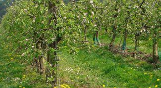Чем обработать деревья от тли