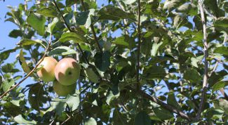 Чем обработать яблоню от тли