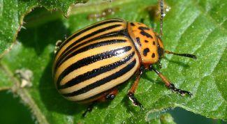 Как избавиться от колорадского жука: полезные советы