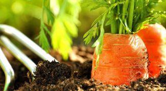 Как и когда нужно прореживать морковь