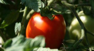 Как часто поливать помидоры после посадки в грунт