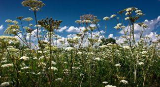 Какие лечебные травы собирают в июне