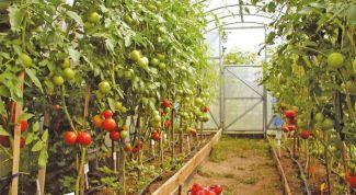 Как выращивать помидоры в теплице из поликарбоната: ликбез для новичков