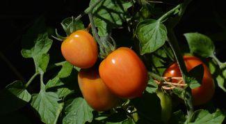 Как выращивать томаты и ухаживать за ними