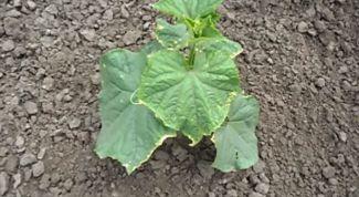 Чем обработать огурцы, если листья желтеют и сохнут