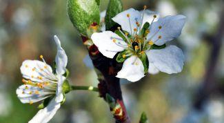 Почему слива цветет, но не плодоносит