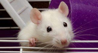 Как ухаживать за декоративными крысами